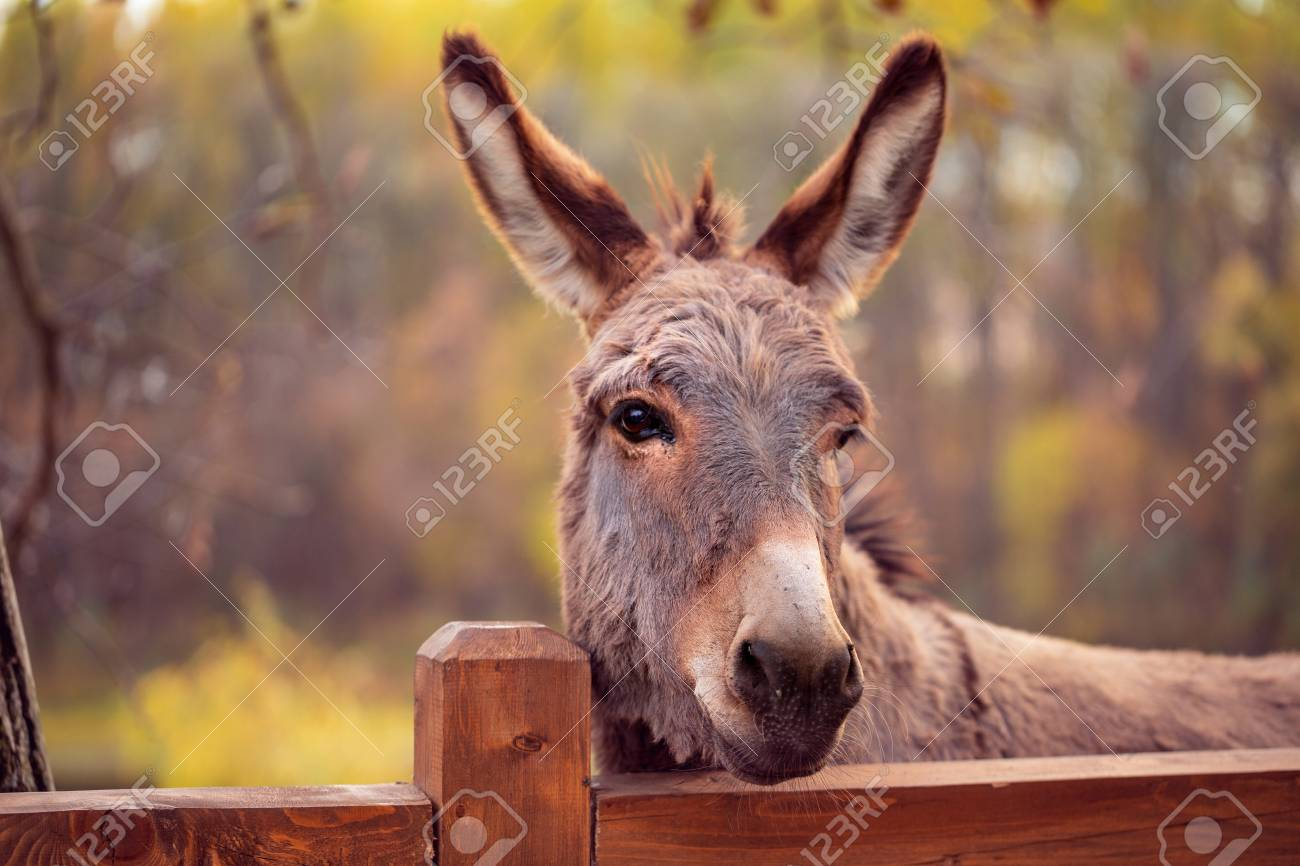 funny brown donkey domesticated member of the horse family - 112163990