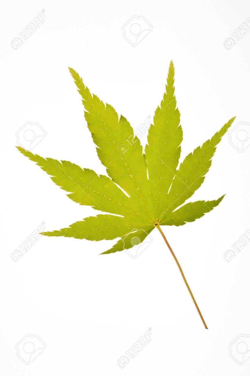 a coral bark japanese maple leaf-Sango kaku Stock Photo - 3549460