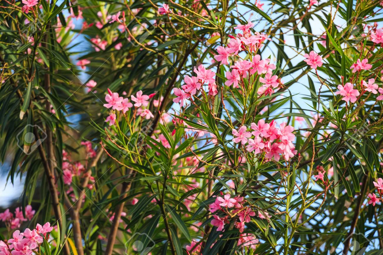 pink oleander or nerium stock photo picture and royalty free image