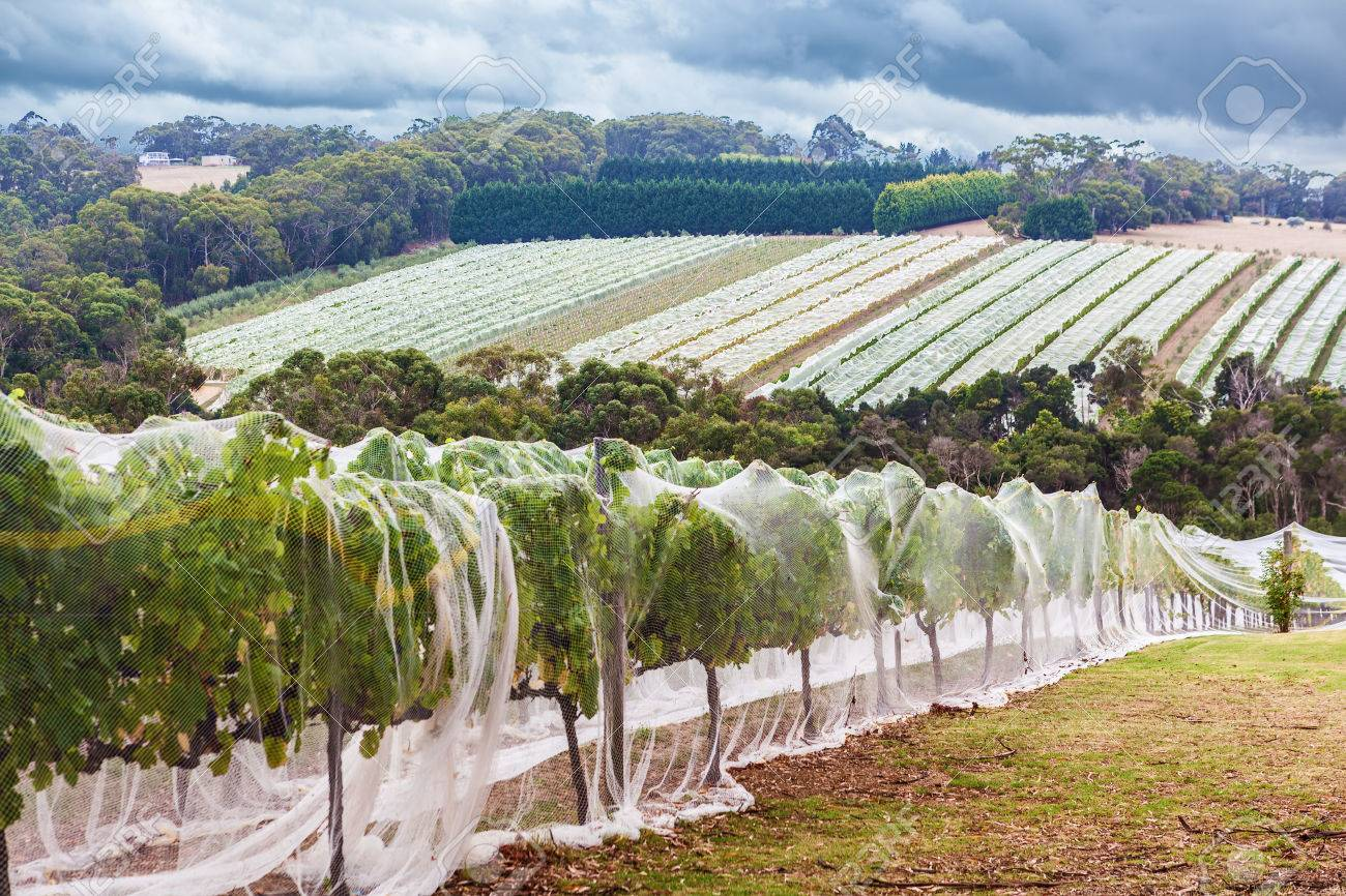 Rows of grape vines protected with bird netting  Beautiful countryside