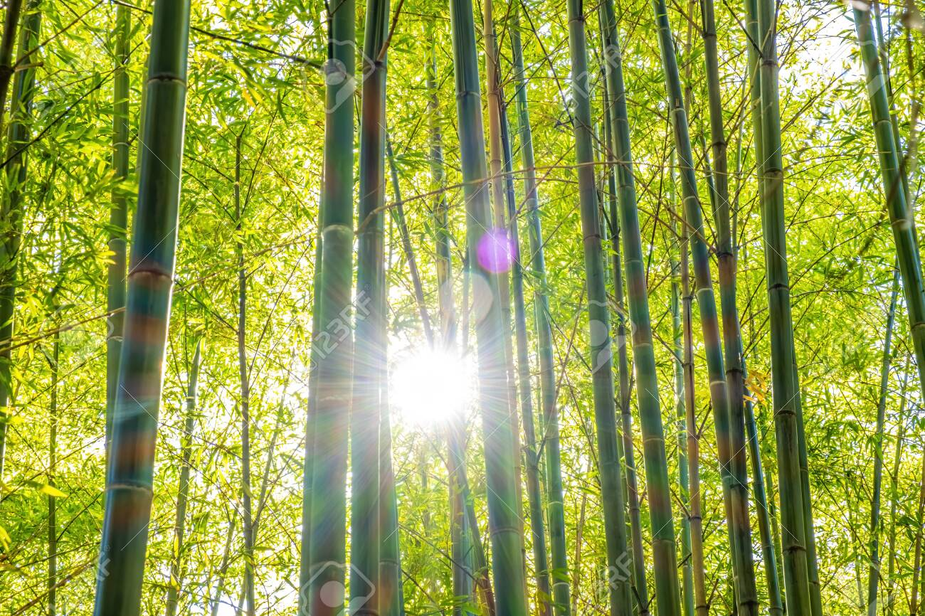 Sun Shining With Lens Flare Through Bamboo Trees In A Forest Stock