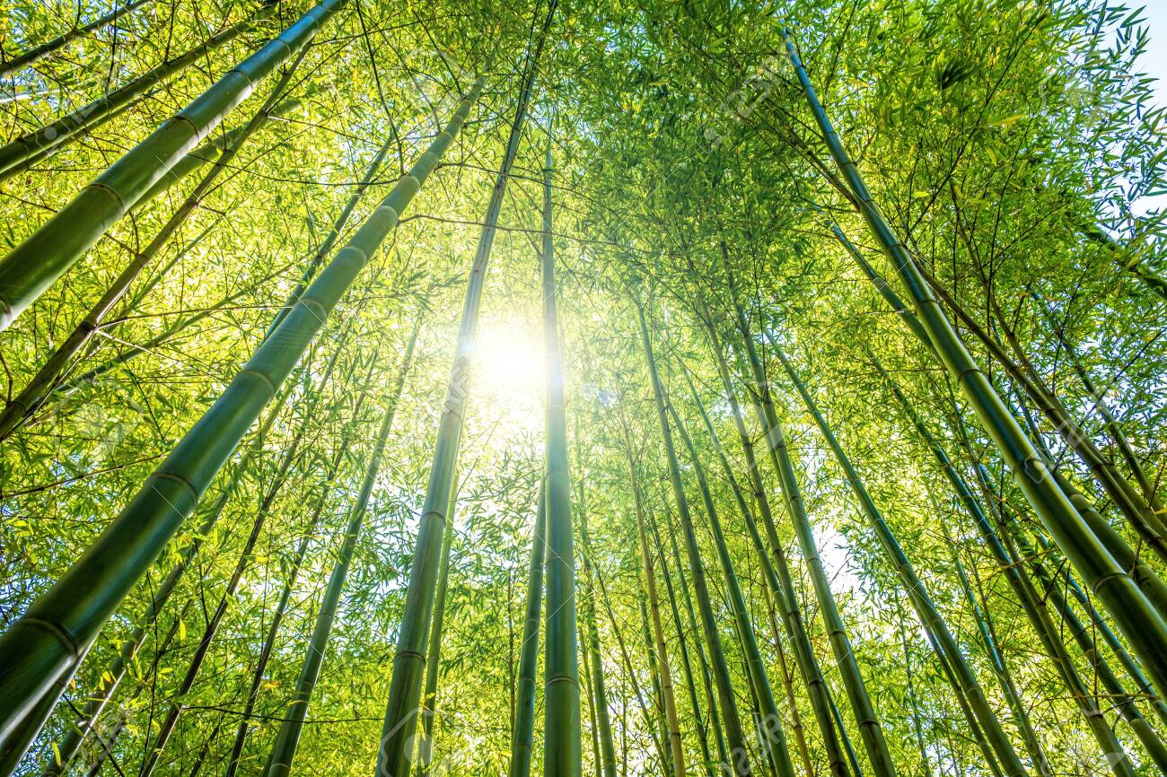 Looking Up Through Bamboo Trees Canopy Into The Shining Sun Stock