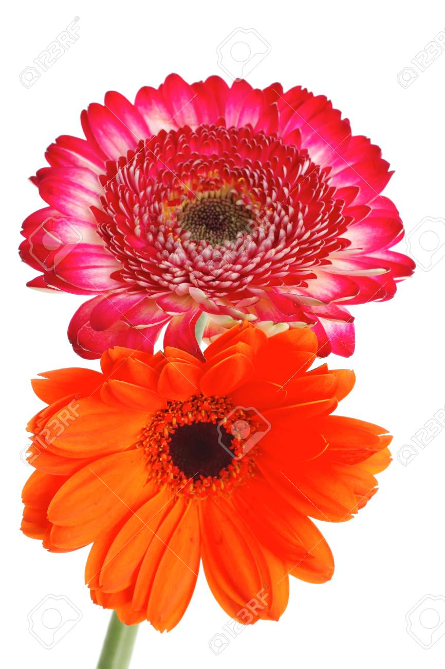 two natural red and orange gerbera flower isolated over pure white background Stock Photo - 12769918