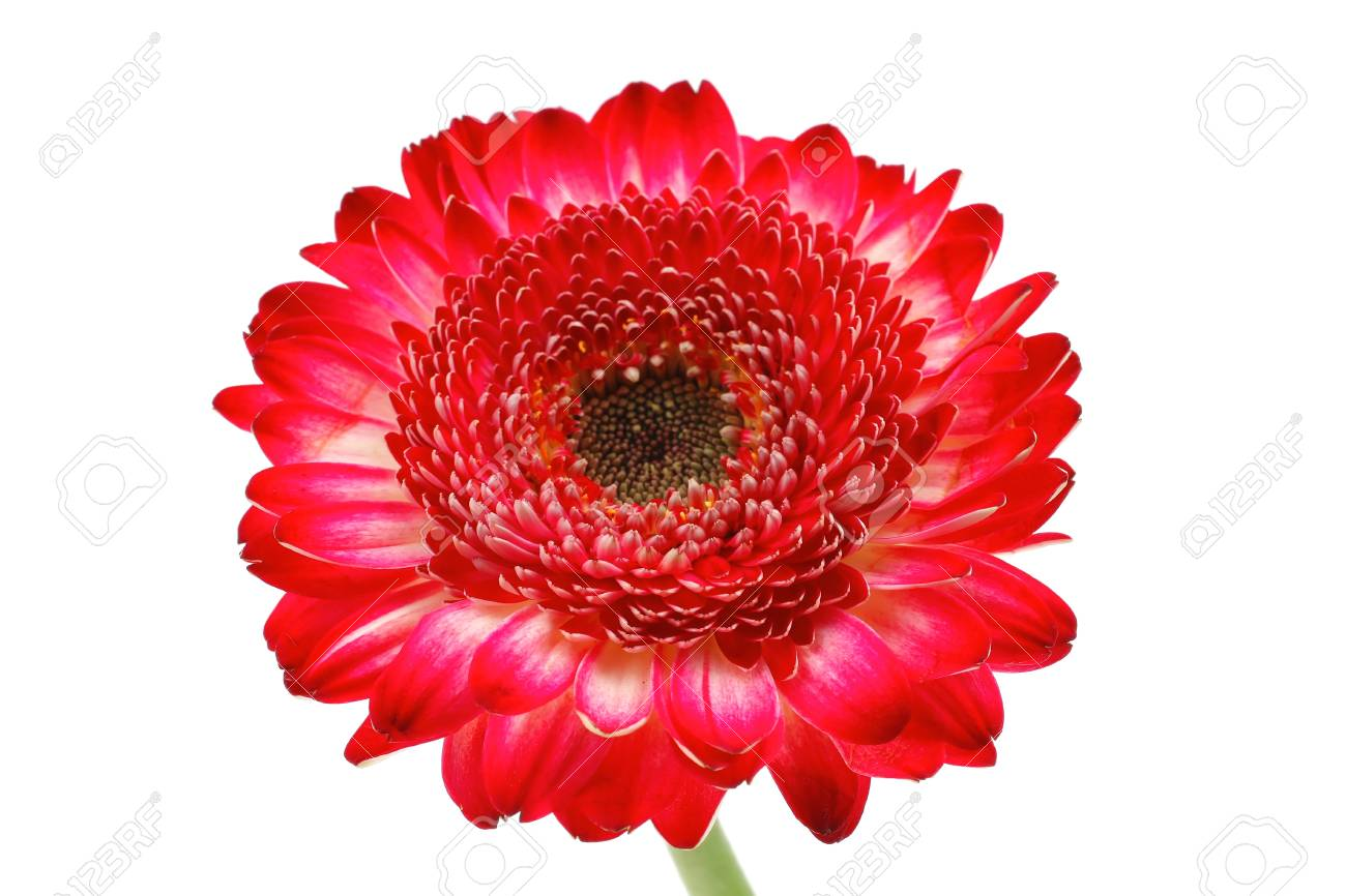 natural red gerbera flower isolated over pure white background Stock Photo - 16572913