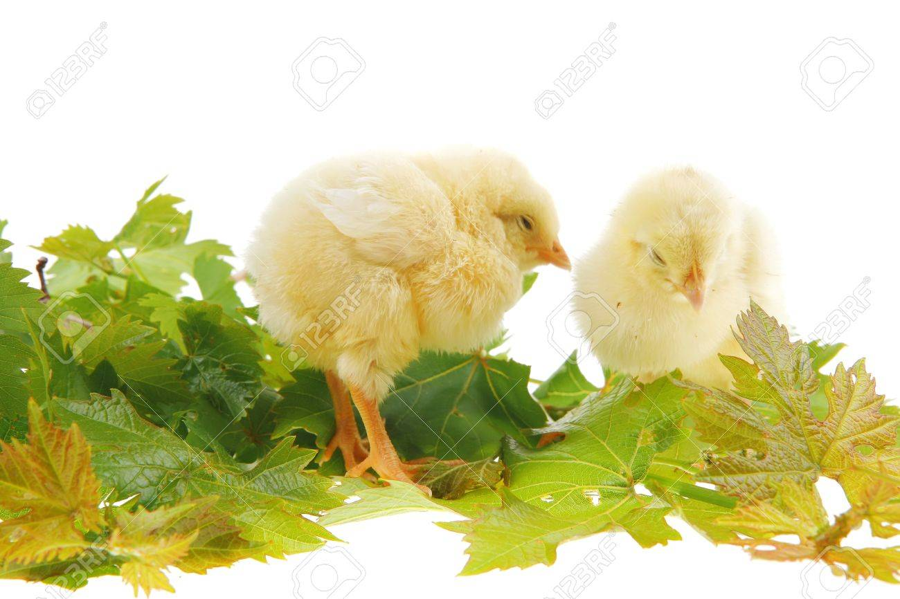live little chicken animal isolated on white background on green leaves Stock Photo - 16989853