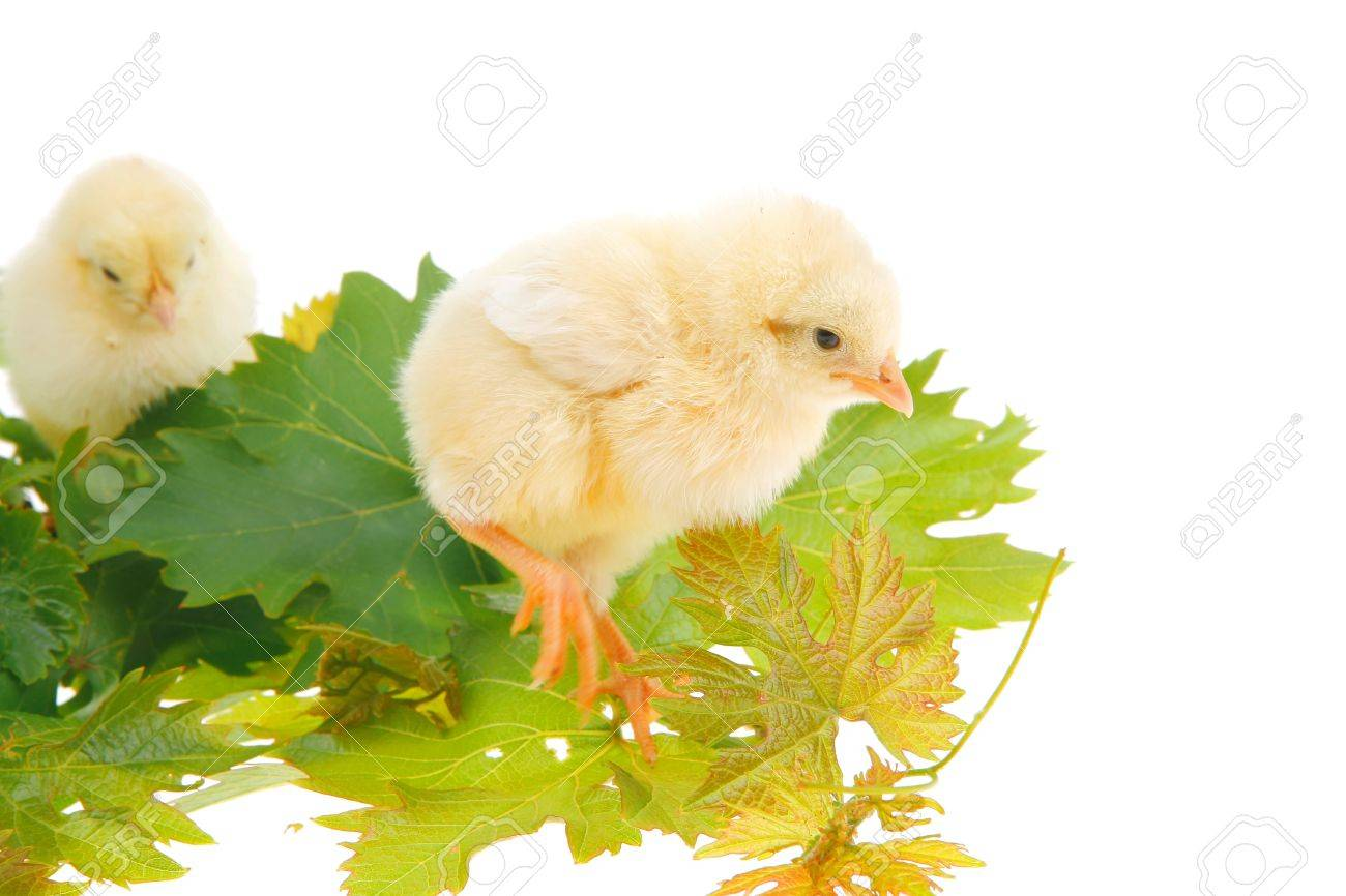 Cute Live Little Baby Chicken Isolated On White Background On