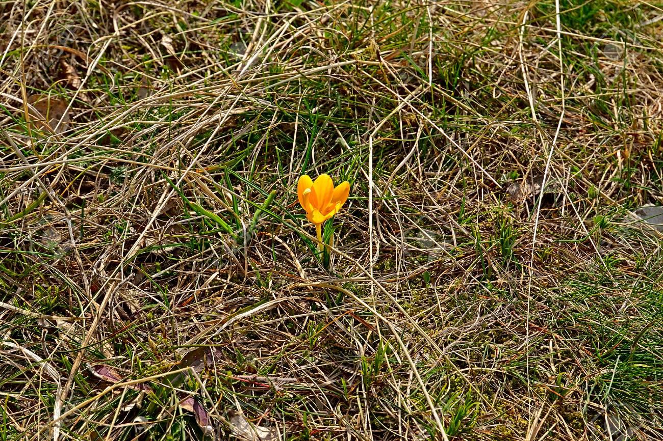 El azafrán amarilla de la primavera, la flor hermosa de la primavera en  primer.