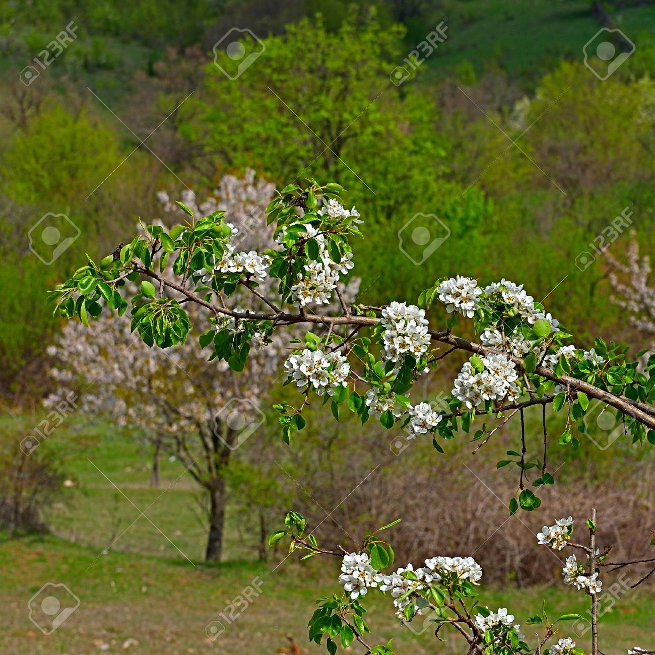 The White Flowers Of Wild Apple Tree In The Old Mountains In Stock