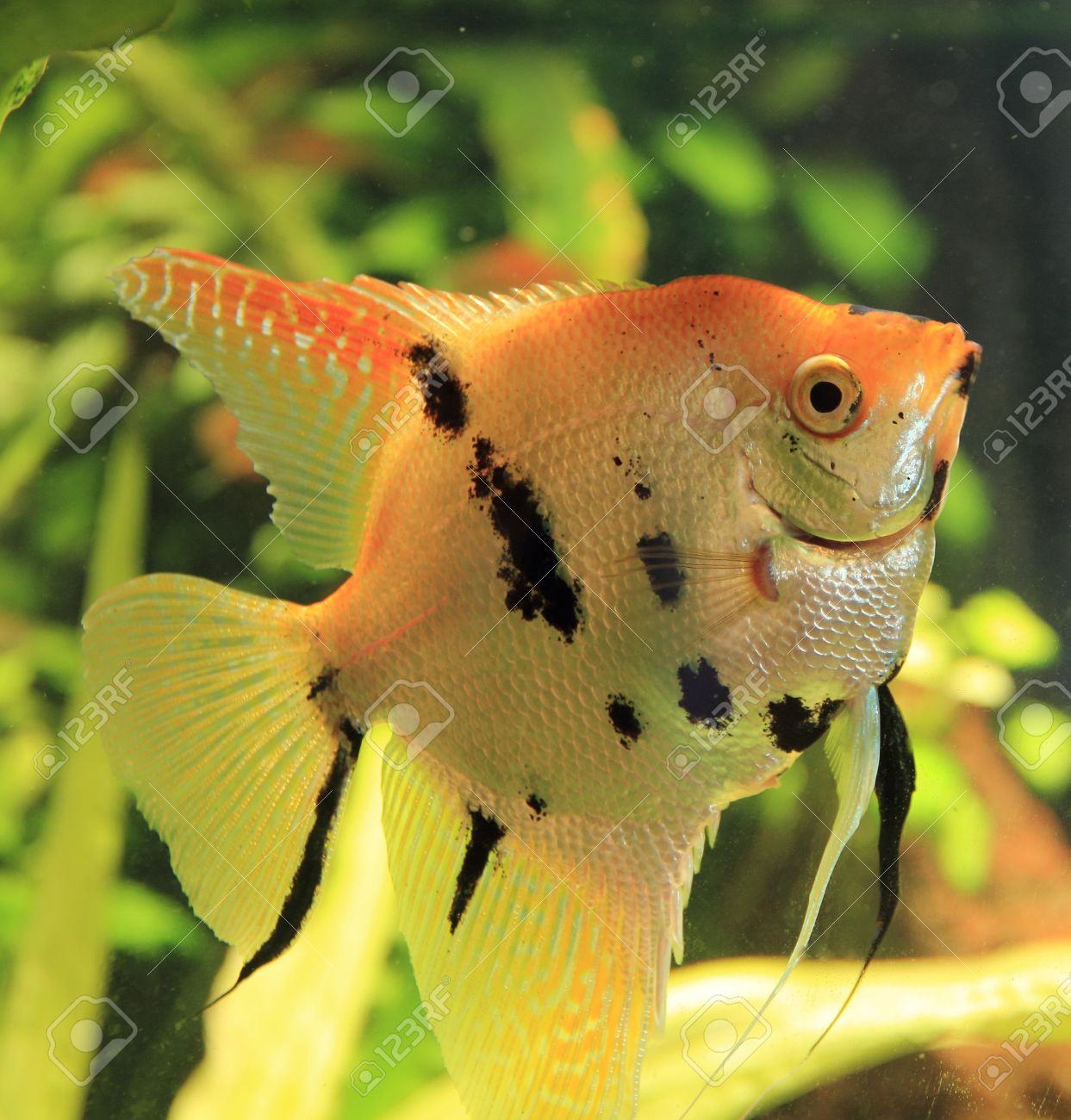 Freshwater aquarium fish angelfish - Stock Photo Nice Looking Angelfish In Bright Fish Tank