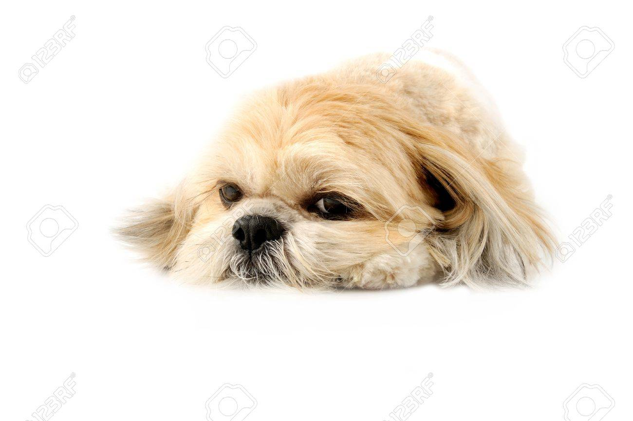 Image A Very Cute Lhasa With Puppy Eyes A White Background