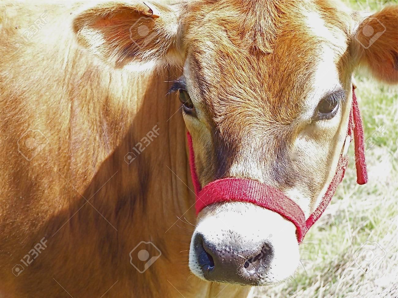 Cow Stock Photo - 3409987