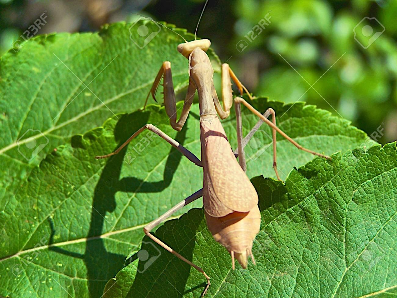 praying mantis Stock Photo - 3528368