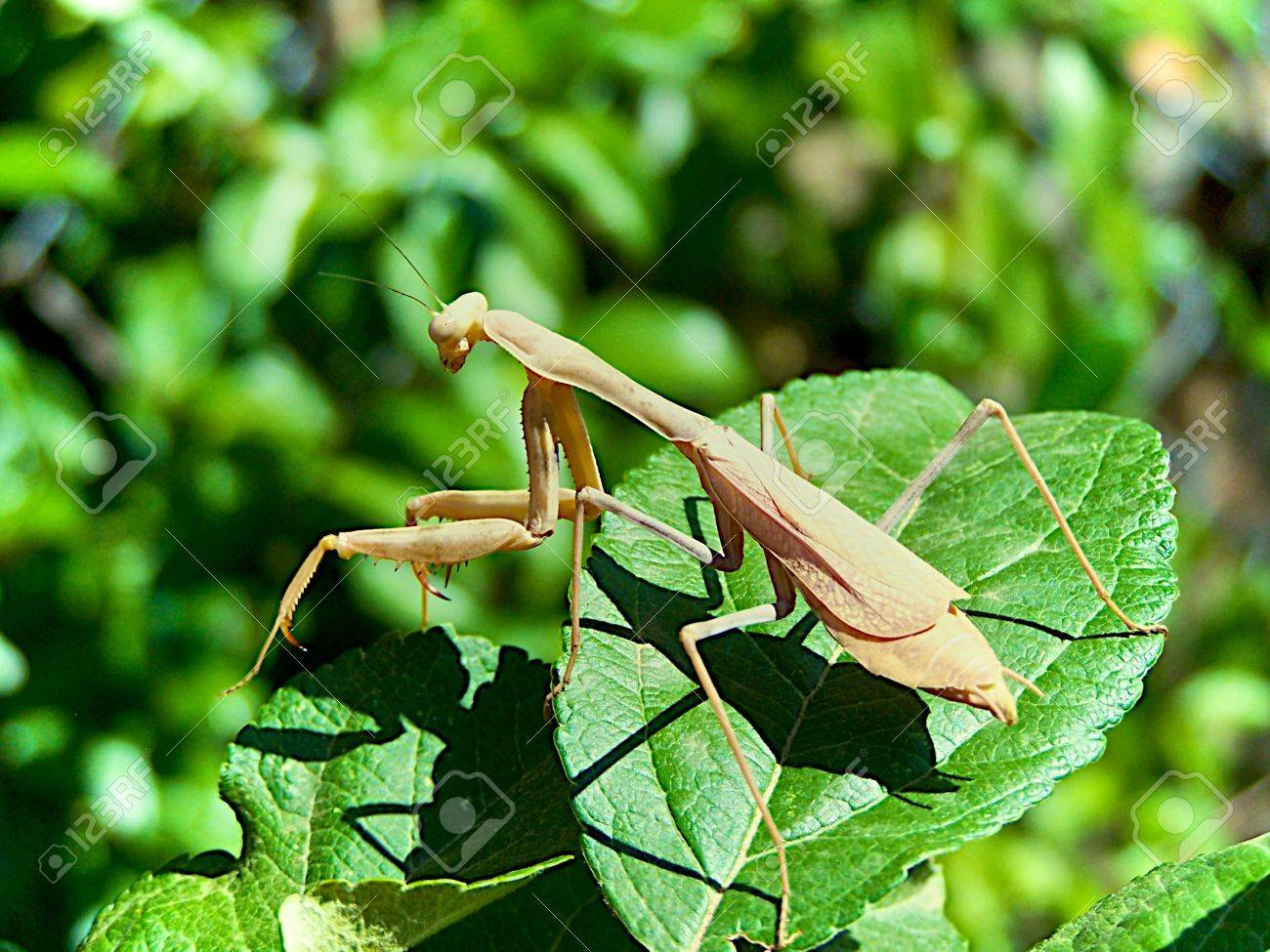 praying mantis Stock Photo - 3528367