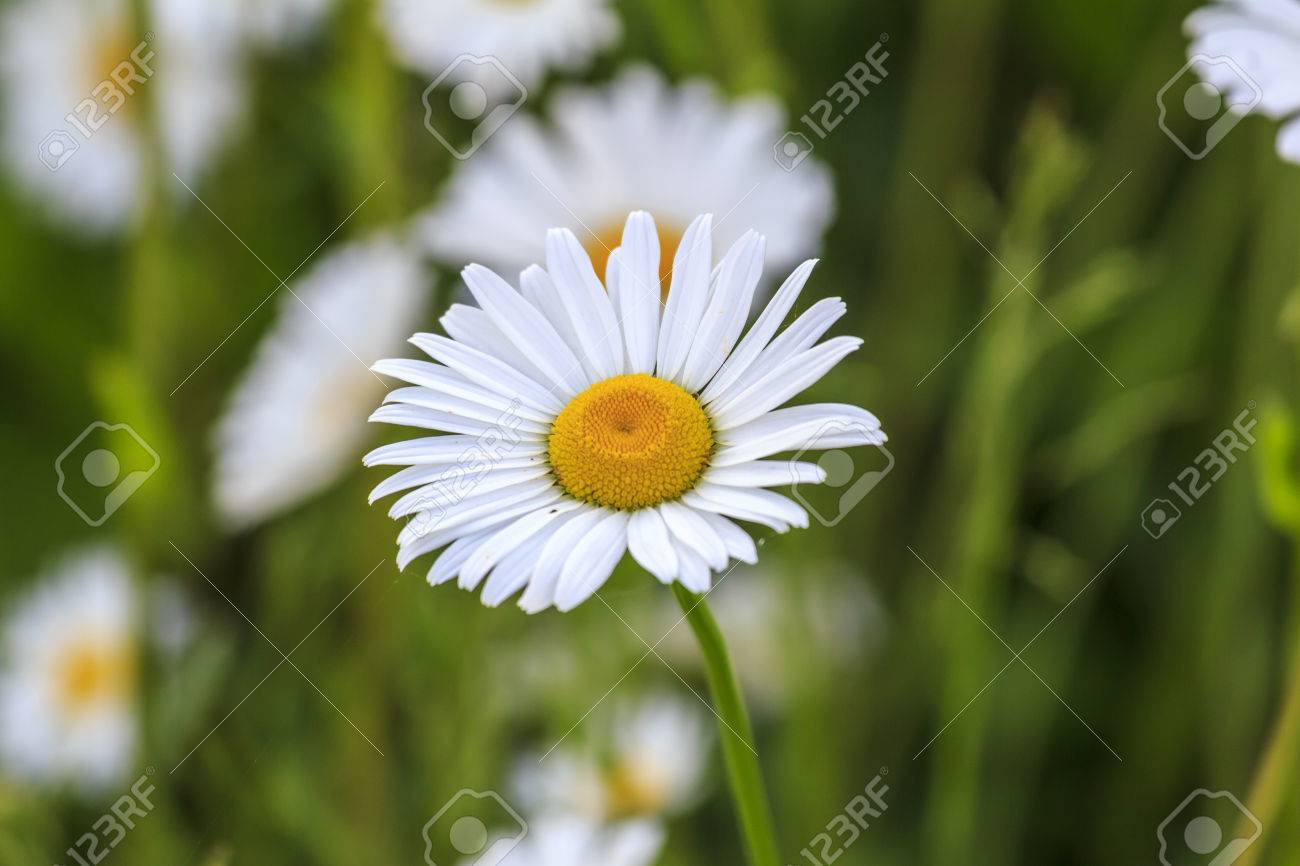 Single White And Yellow Camonile Flower With Other Blurred Flowers