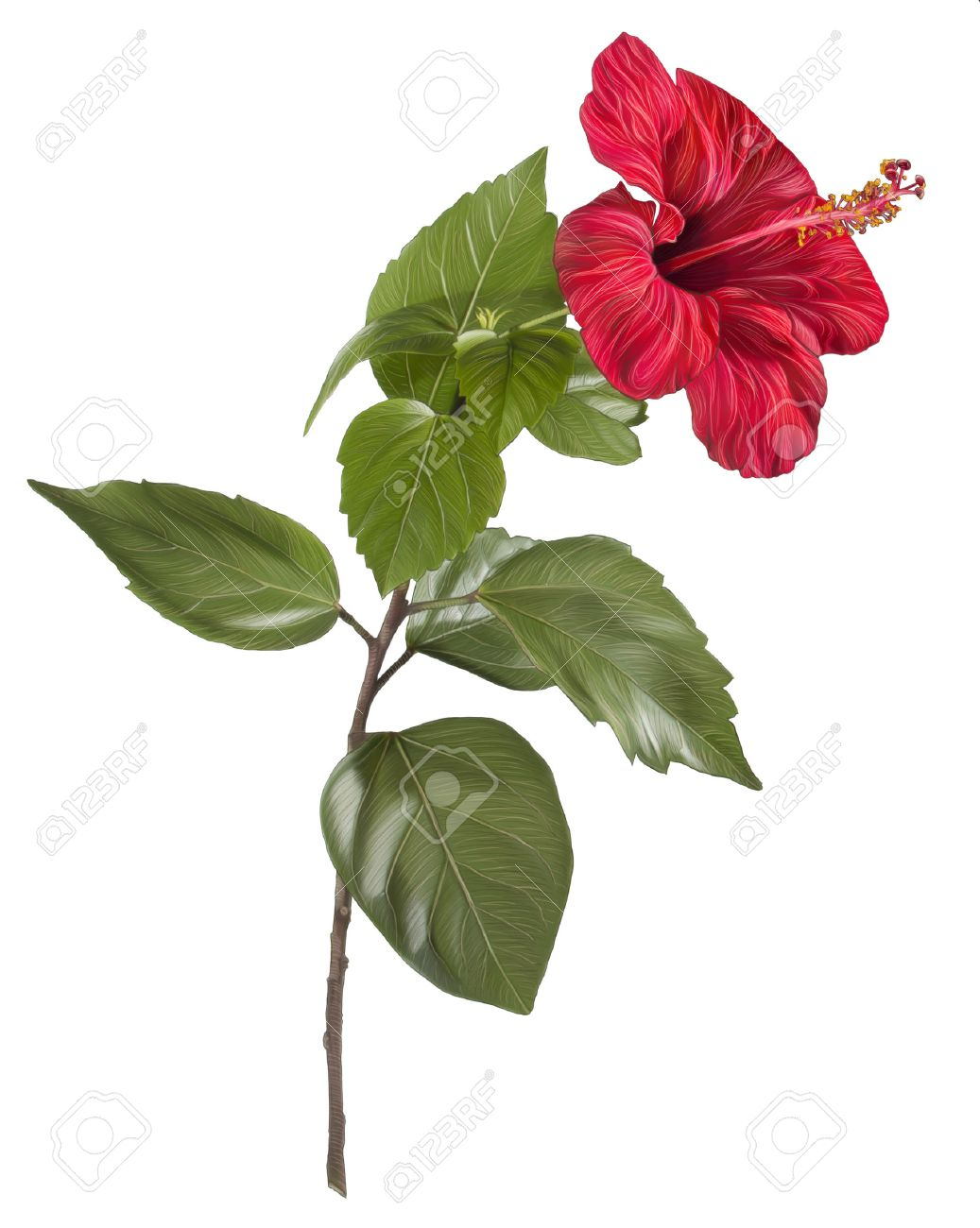 Painting Of Red Flower On White Background Hibiscus Hand Drawing Stock Photo Picture And Royalty Free Image Image 30660865