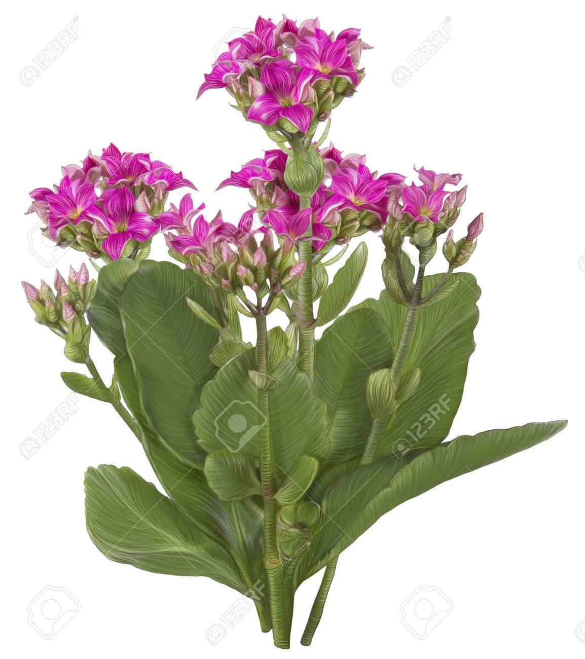 Dessin De Pink Kalanchoe Fleur Isole Sur Fond Blanc Banque D Images