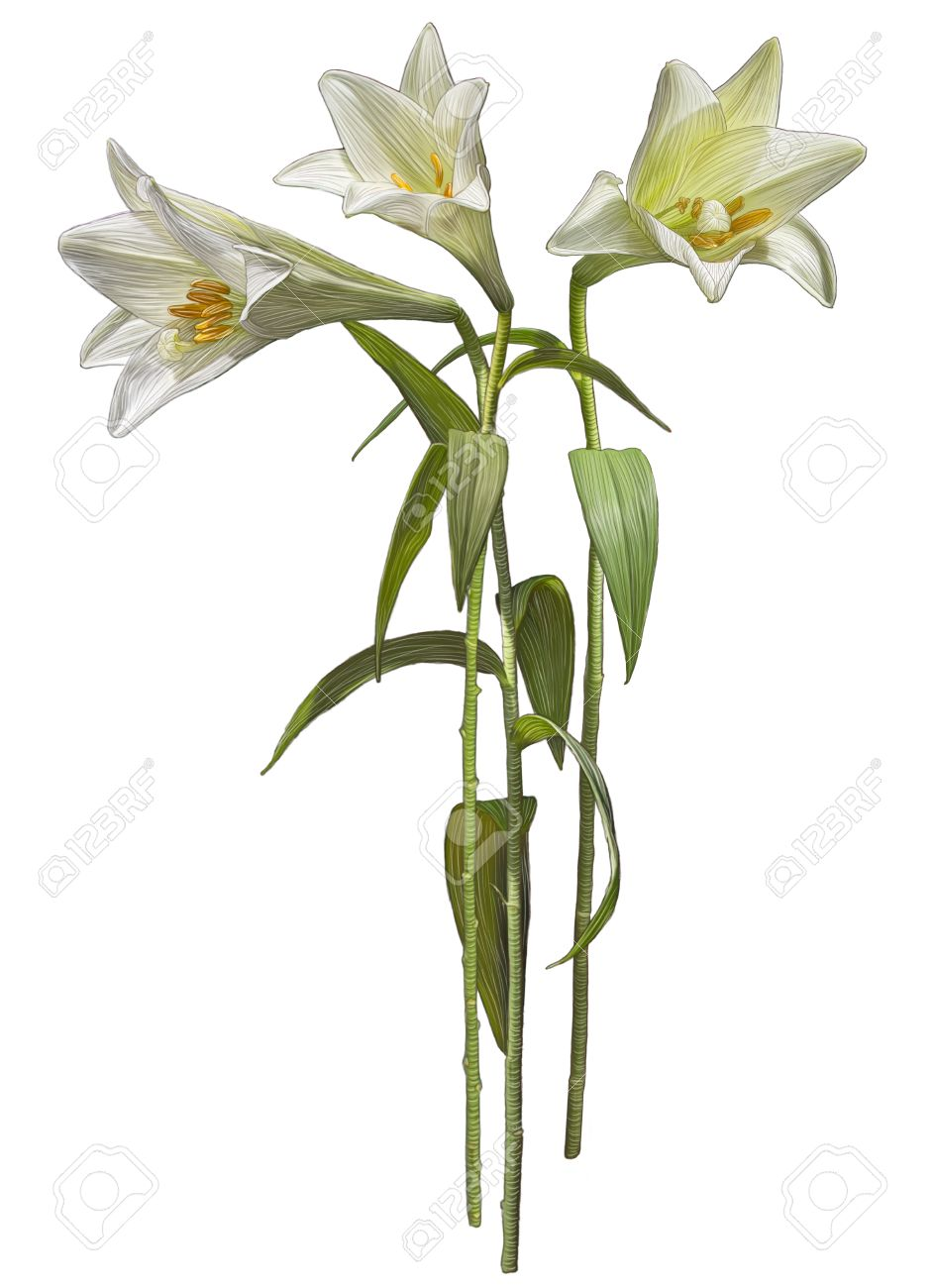 Drawing Of White Madonna Lily Flowers Isolated On White Background