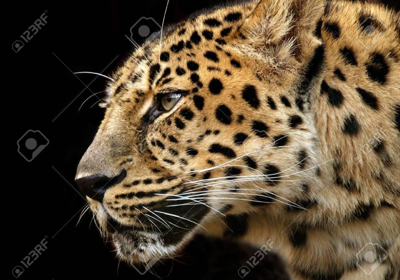 Banque d\u0027images , Recherche léopard , un grands chats sauvages