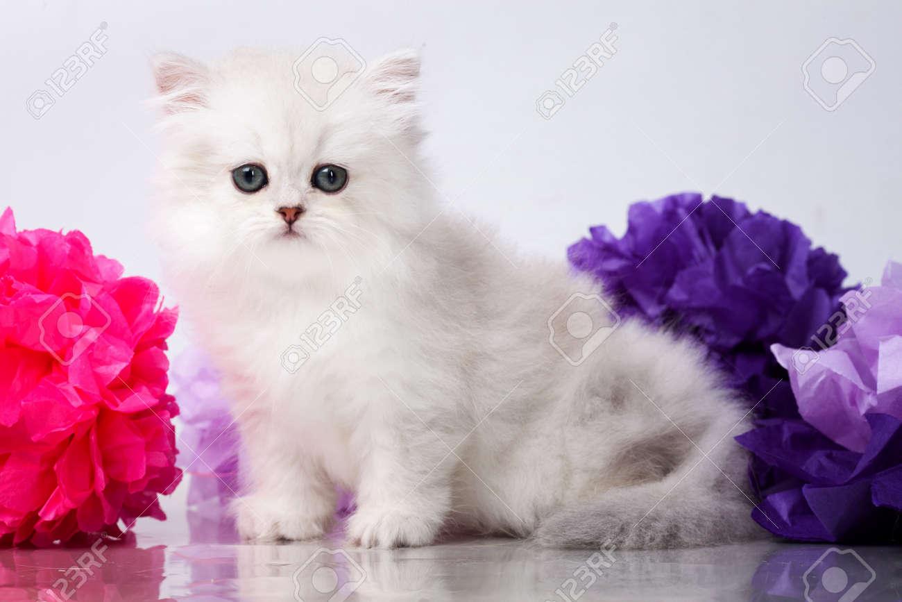 Fonkelnieuw Brits Korthaar Kitten Portret. Geïsoleerd Op Wit Royalty-Vrije KS-67