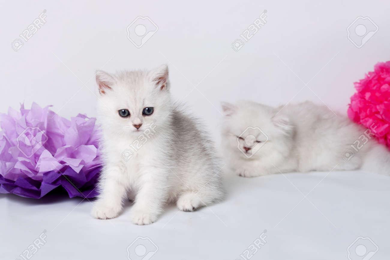 British Shorthair Kittens Portrait Isolated White Stock