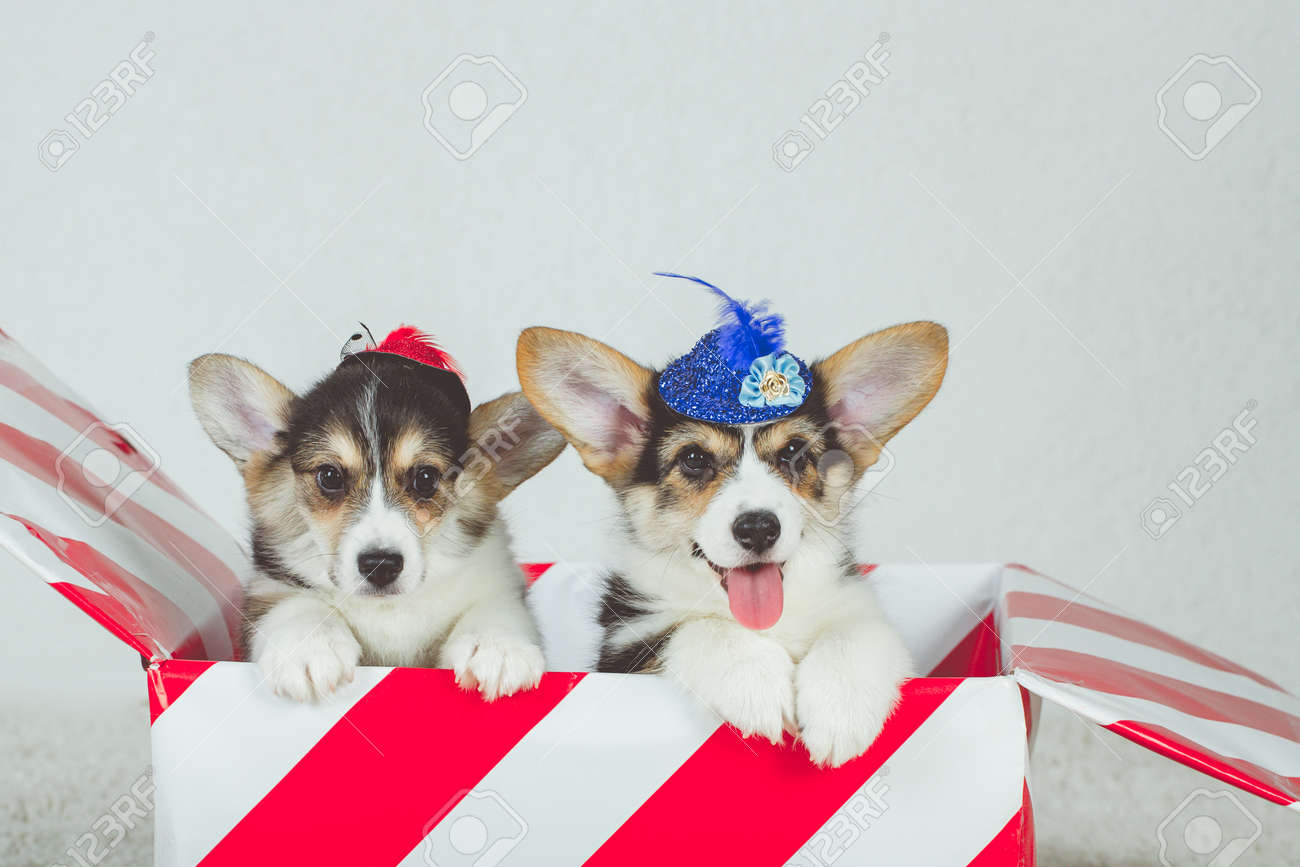 Gift Striped Box With Corgi Puppies Adorable Baby Animals Sitting Stock Photo Picture And Royalty Free Image Image 141846580