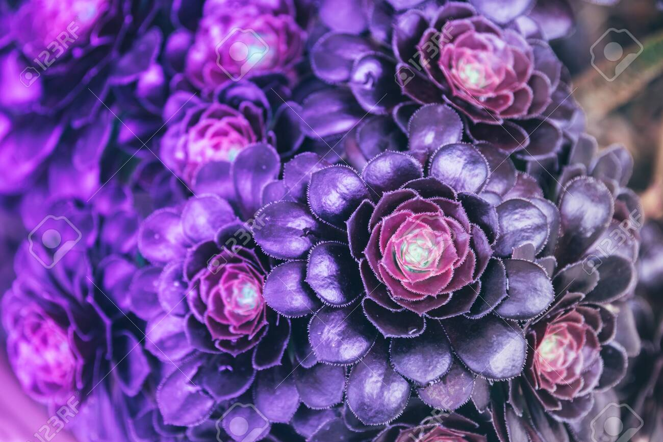 Neon Gradient Of Blue Purple And Pink Colors Succulent Plant Stock Photo Picture And Royalty Free Image Image 129098720