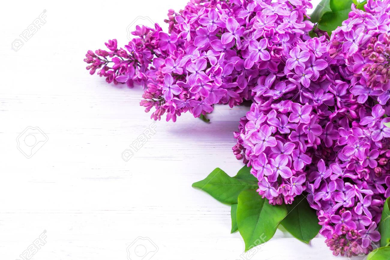 Beautiful bouquet of lilac flowers isolated on white background with copy space. Syringa vulgaris. Spring concept. Greeting card. - 141376681