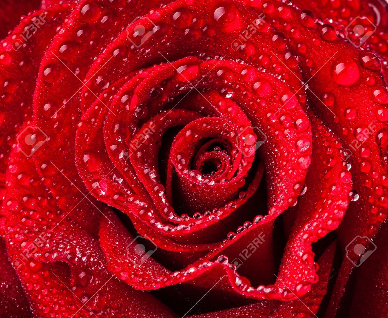 beautiful close up red rose Stock Photo - 45224138