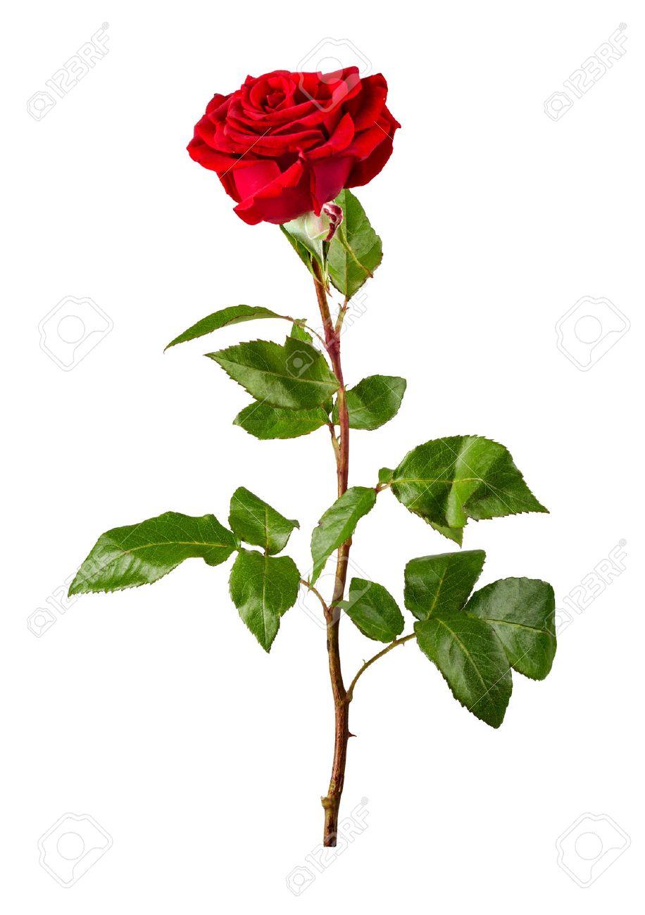 Rote Rose Auf Weißem Hintergrund Lizenzfreie Fotos, Bilder Und Stock ...