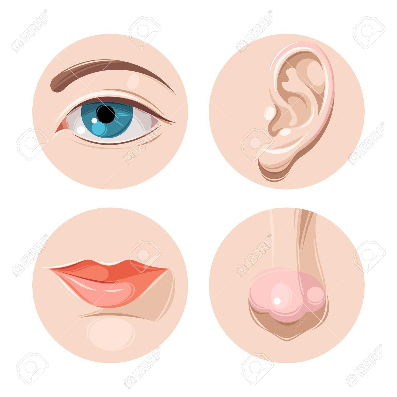 Ilustración Del Vector Del Ojo Humano, El Oído, La Nariz Y La Boca ...