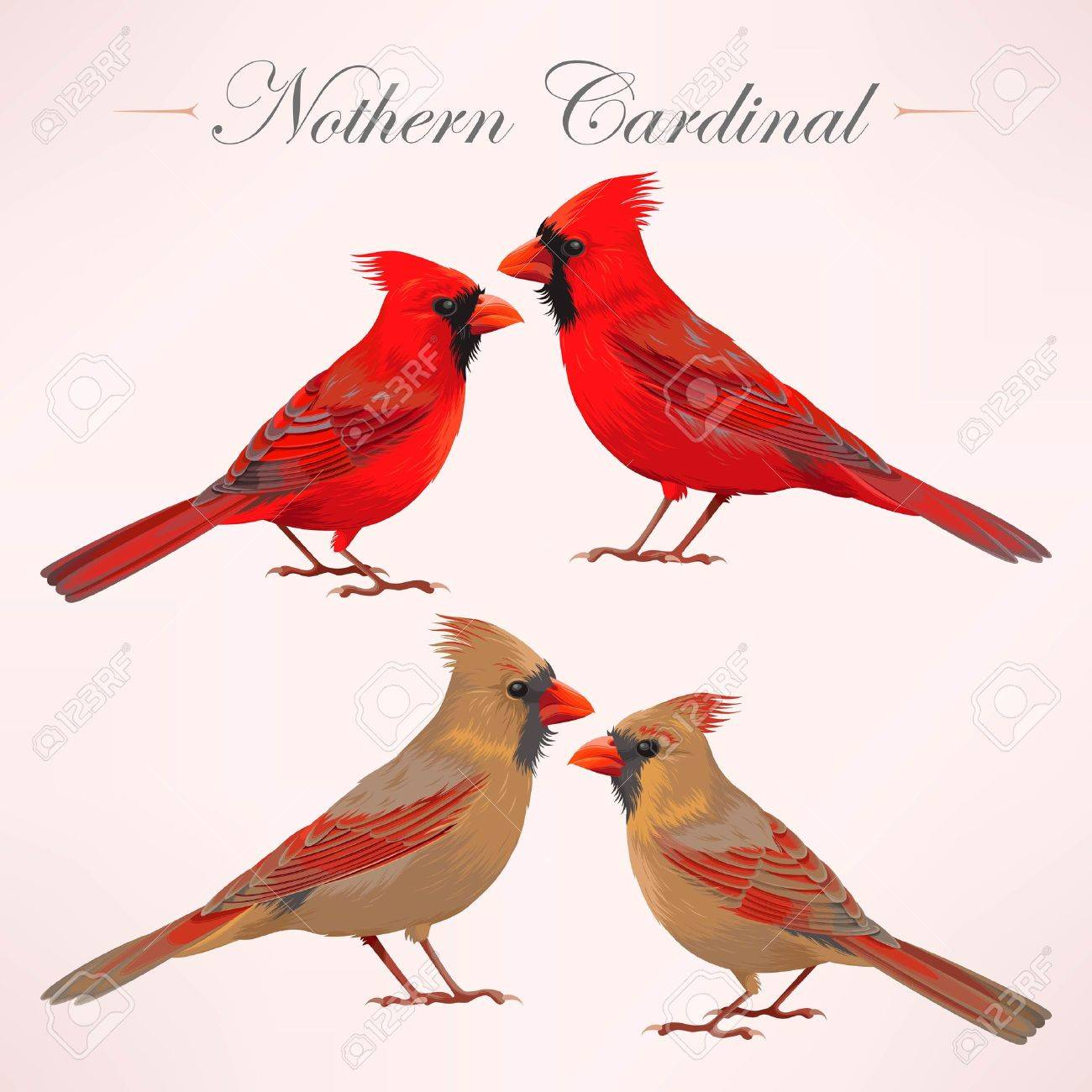 Vector set of high detailed nothern cardinals - 67100294