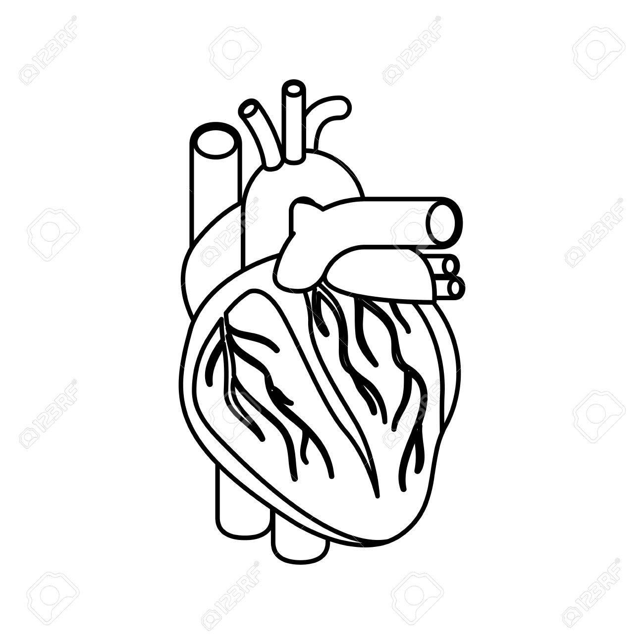 Skizze Silhouette Herz System Menschlichen Körpers Vektor ...