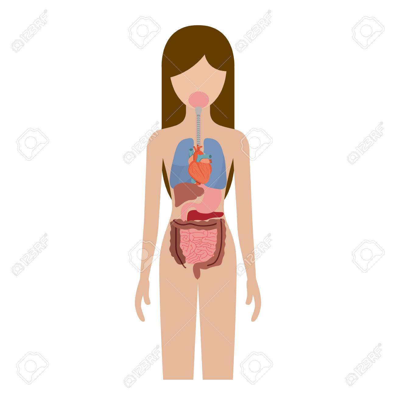 Colorful Silhouette Female Person With Internal Organs System ...