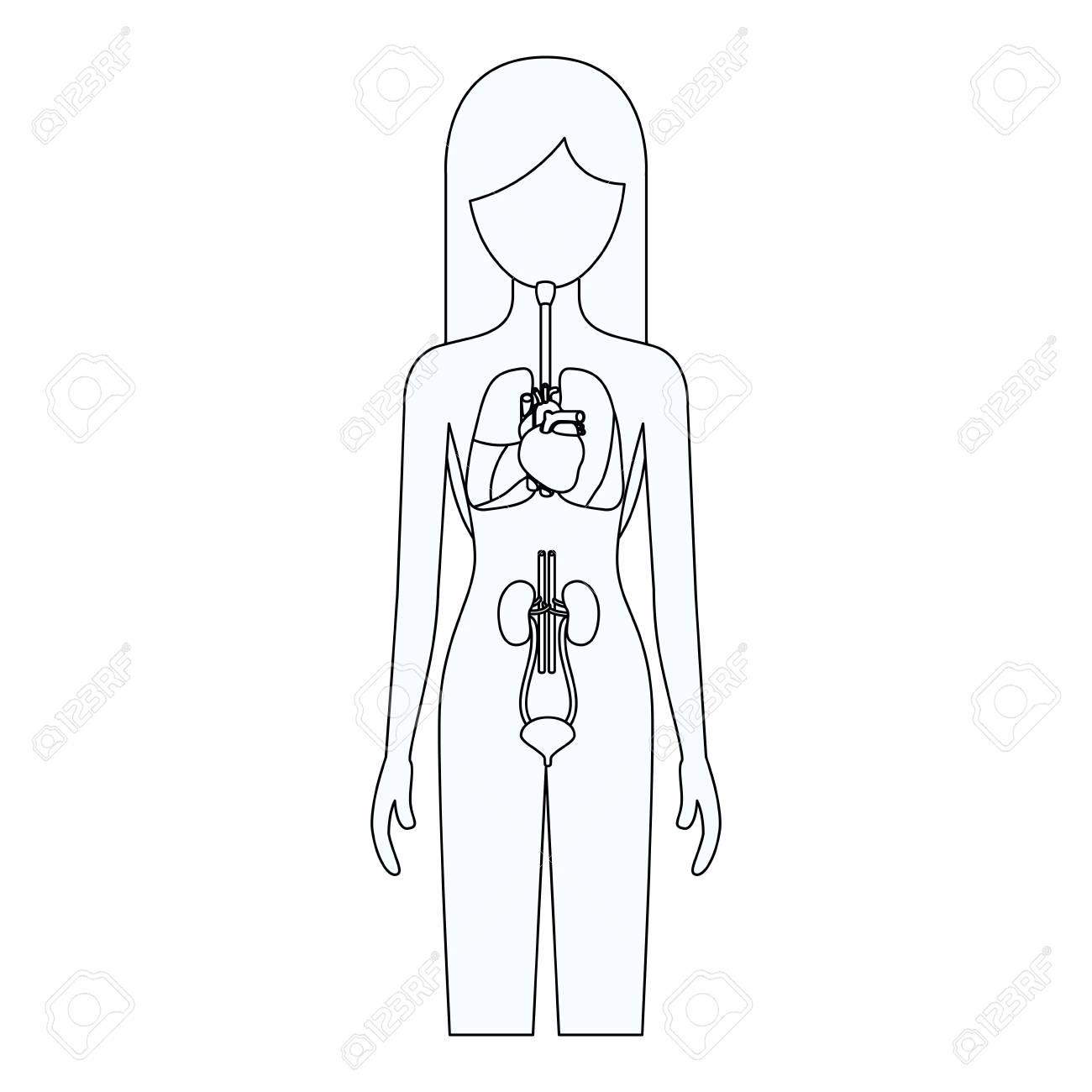 Bosquejo Silueta De Mujer Con Sistema De órganos Internos De La ...