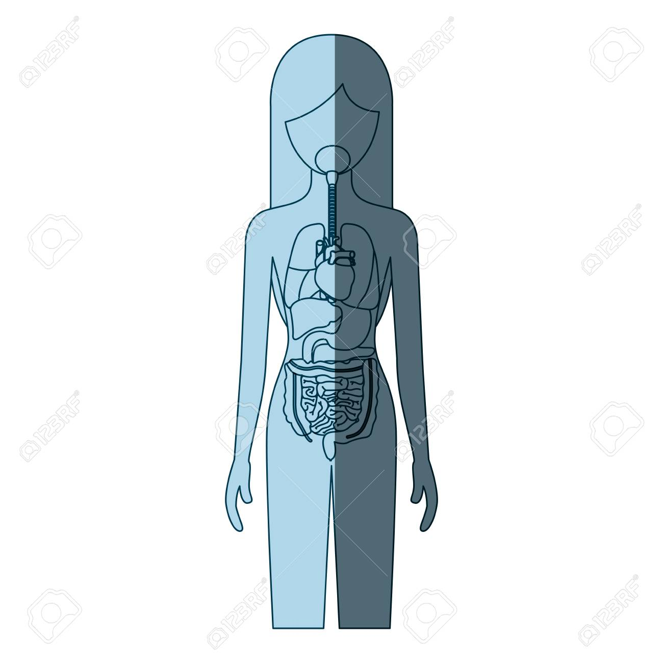 Blue Color Shading Silhouette Female Person With Internal Organs ...