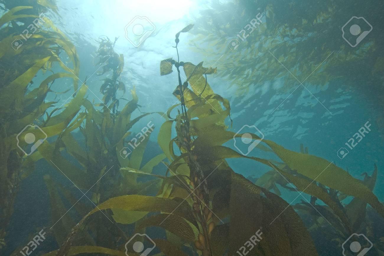 Sea life underwater kelp forest - 48159643