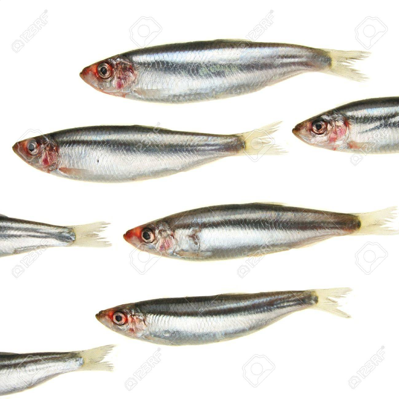A group of sprat fish appear to swim in and out of the frame Standard-Bild - 4370568