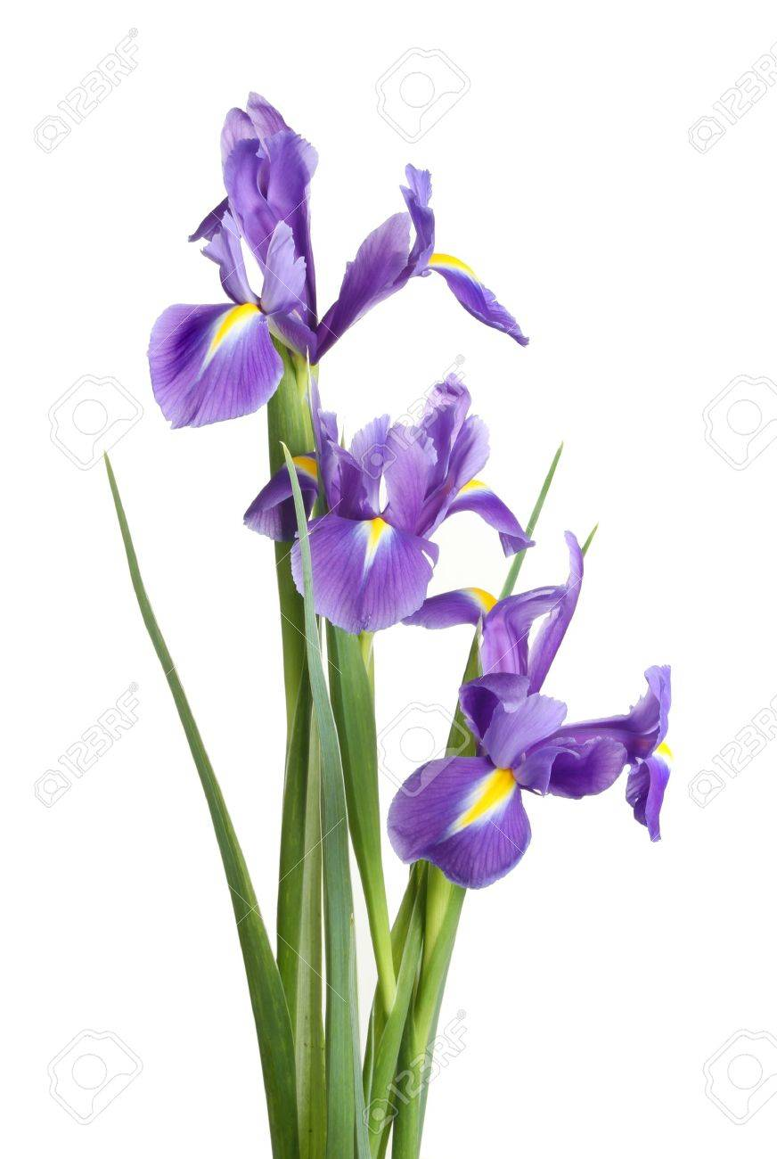Group of iris flowers and foliage isolated against white stock photo group of iris flowers and foliage isolated against white stock photo 12808273 izmirmasajfo