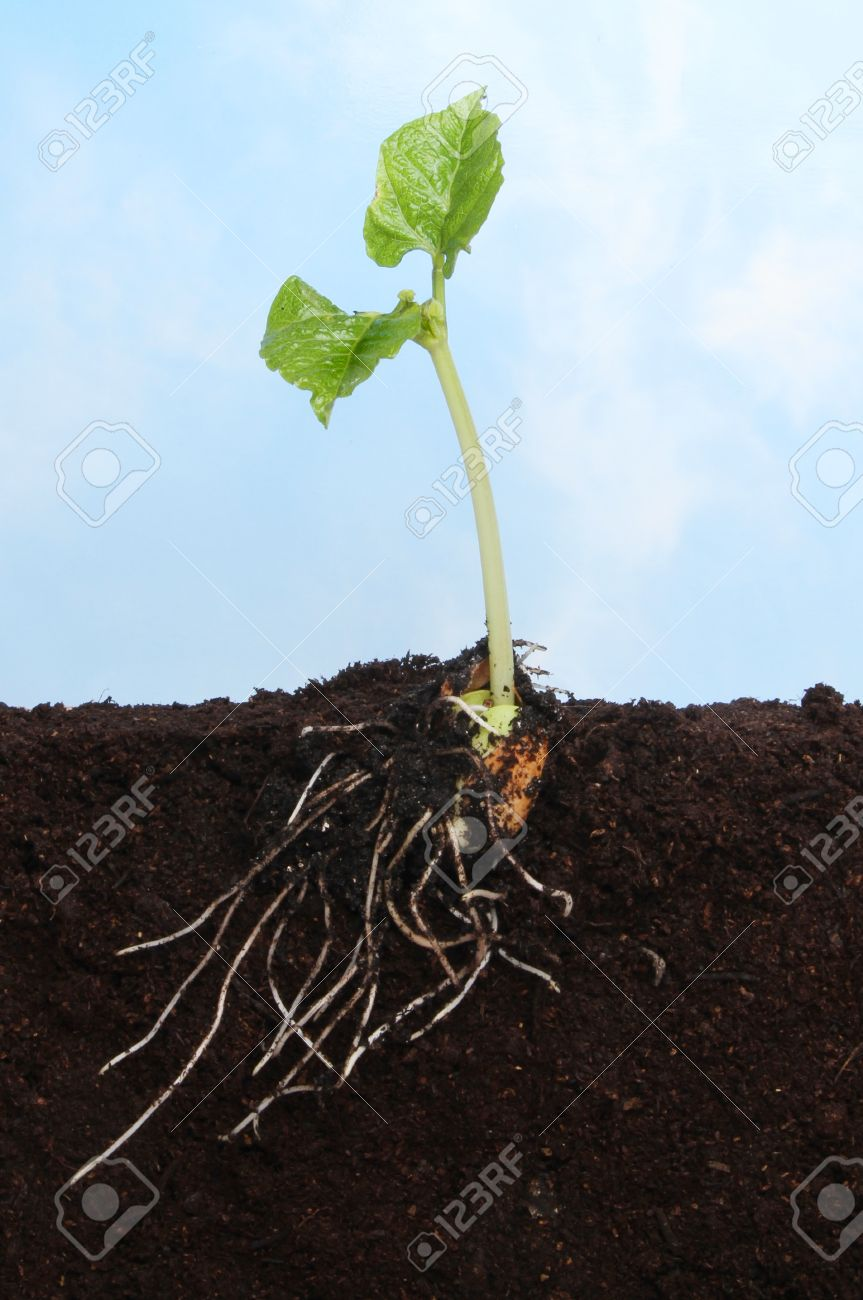 Sectional view of a runner bean seedling in soil showing the newly developed root and leaf system against a blue sky Stock Photo - 13553420