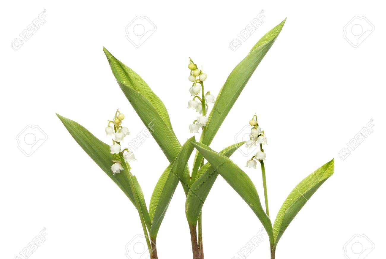 Three Lilly Of The Valley Plants With White Bell Shaped Flowers