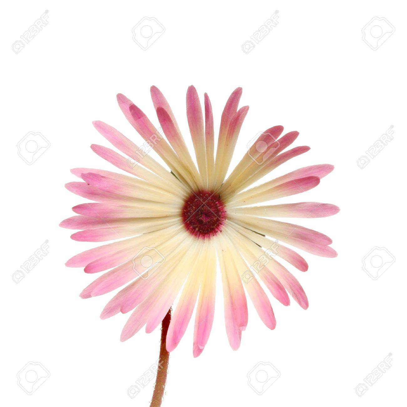 Mesembryanthemum flower meaning midday opening isolated against mesembryanthemum flower meaning midday opening isolated against white reklamn fotografie 14771236 izmirmasajfo Image collections