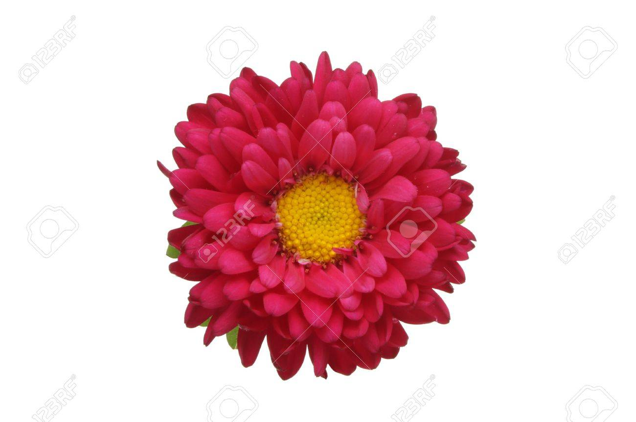 Red Daisy Flower With A Yellow Center Isolated Against White Stock