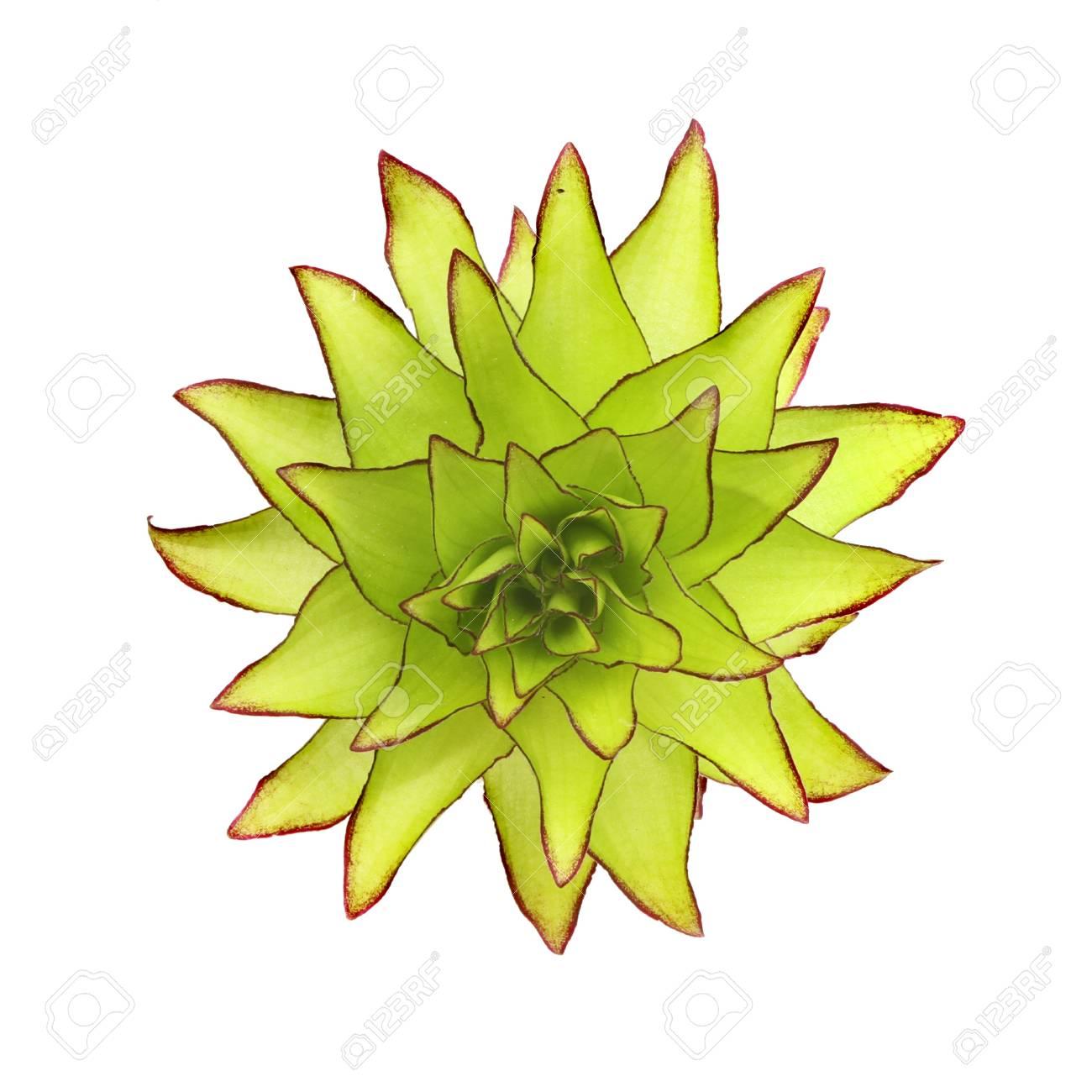 großansicht ansicht von oben von einem grünen ananas-blume gegen