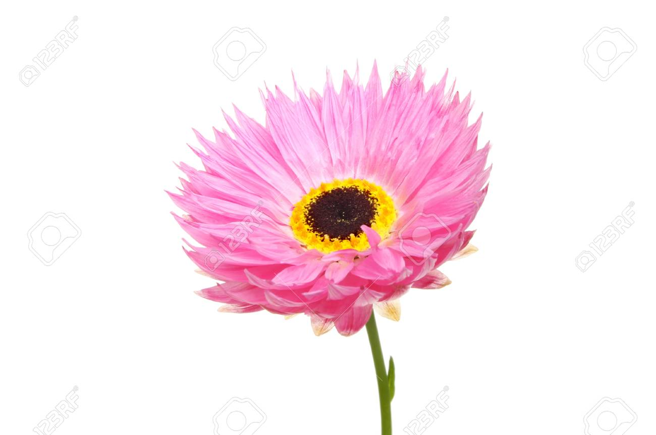 Bright pink and yellow daisy like flower isolated against white bright pink and yellow daisy like flower isolated against white stock photo 21924896 izmirmasajfo