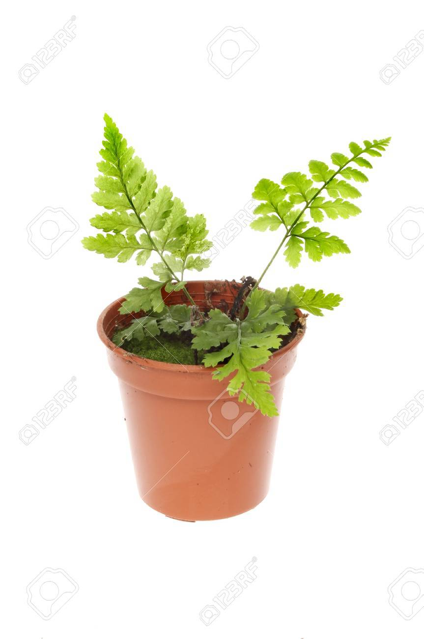Young Fern Plant Growing In A Pot Isolated Against White Stock