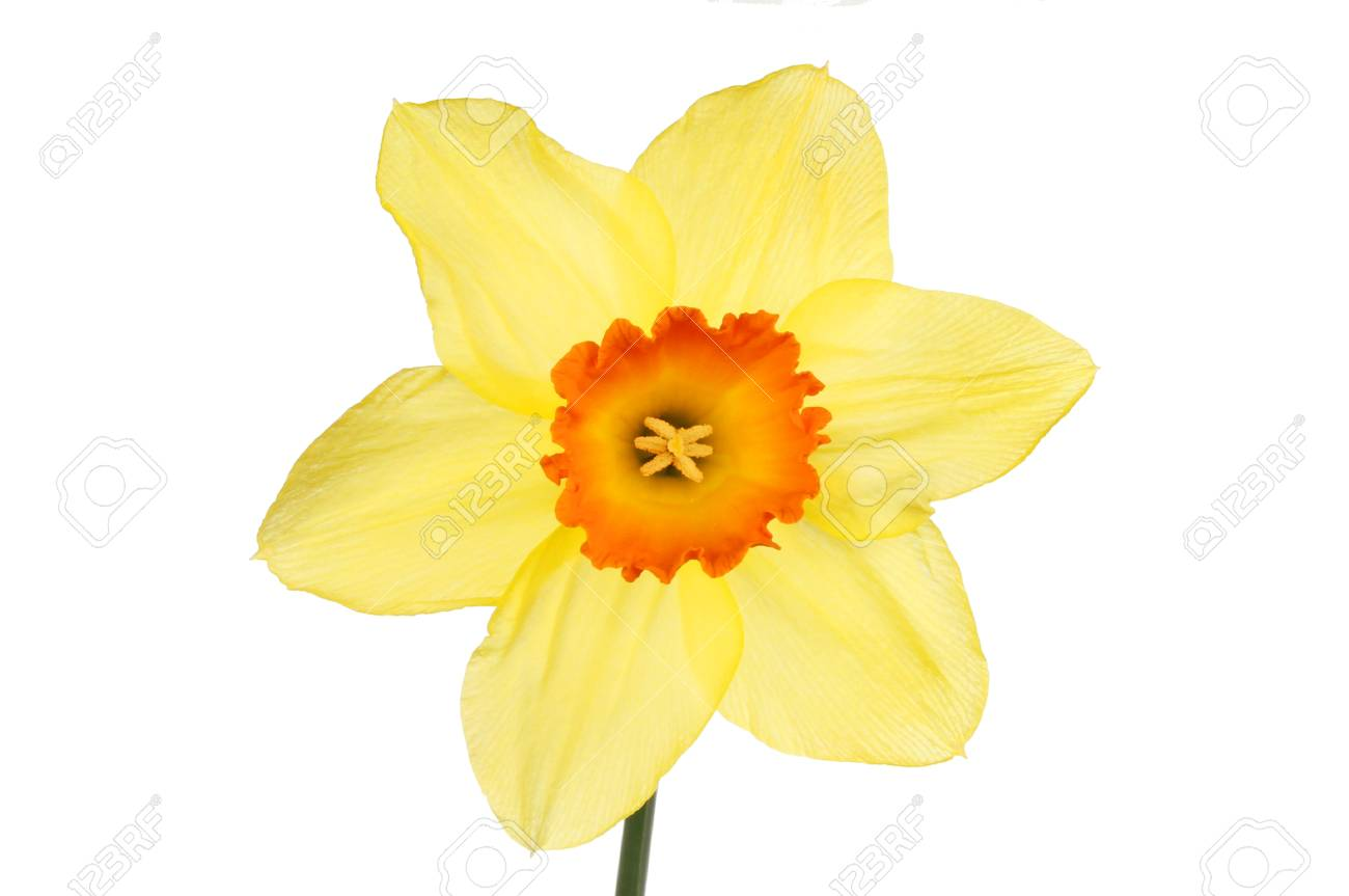 Yellow Daffodil Flower With An Orange Center Isolated Against