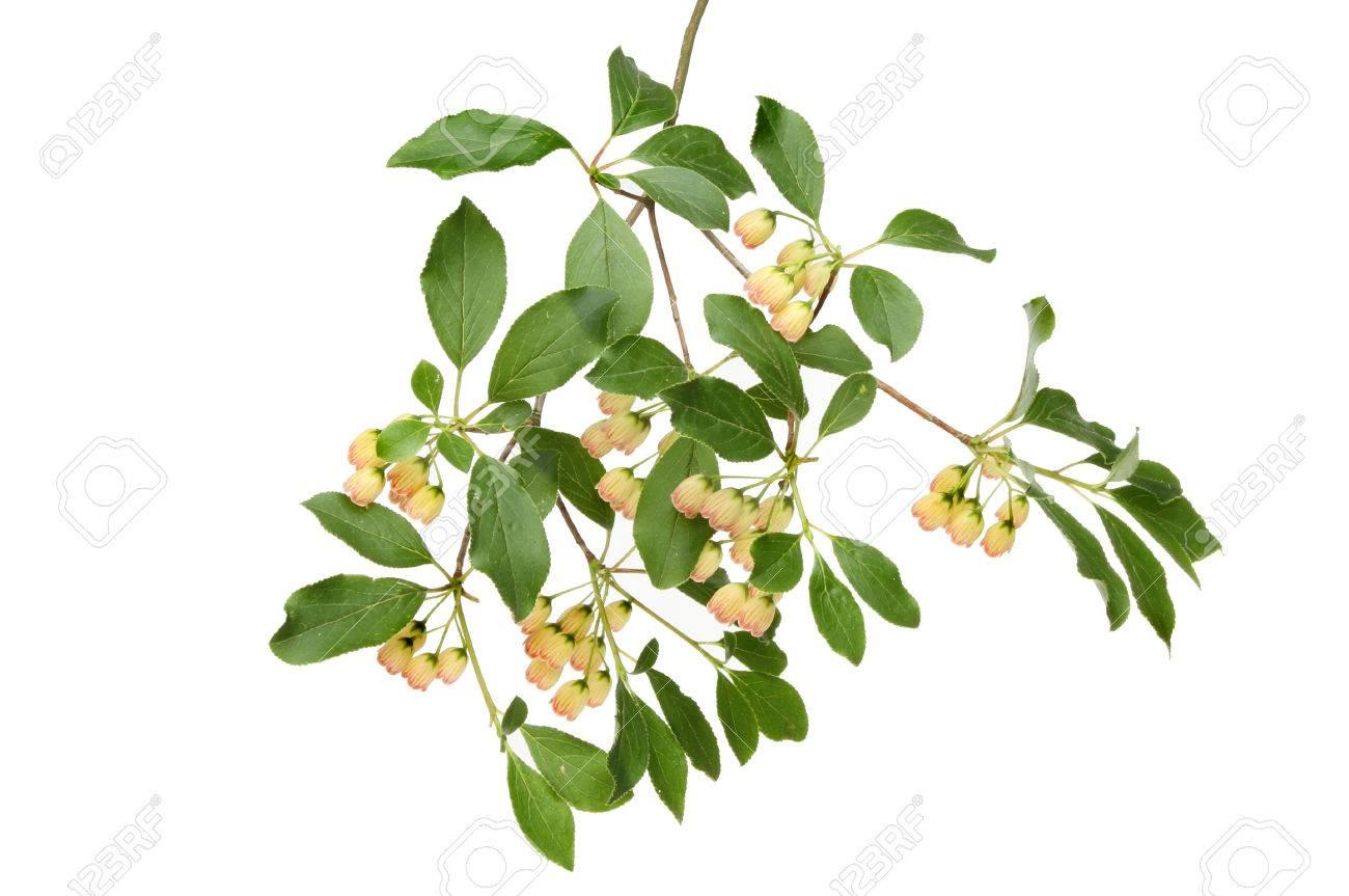Small bell shaped creamy white flowers and foliage of an enkianthus small bell shaped creamy white flowers and foliage of an enkianthus campanulatus shrub pergoda bush mightylinksfo
