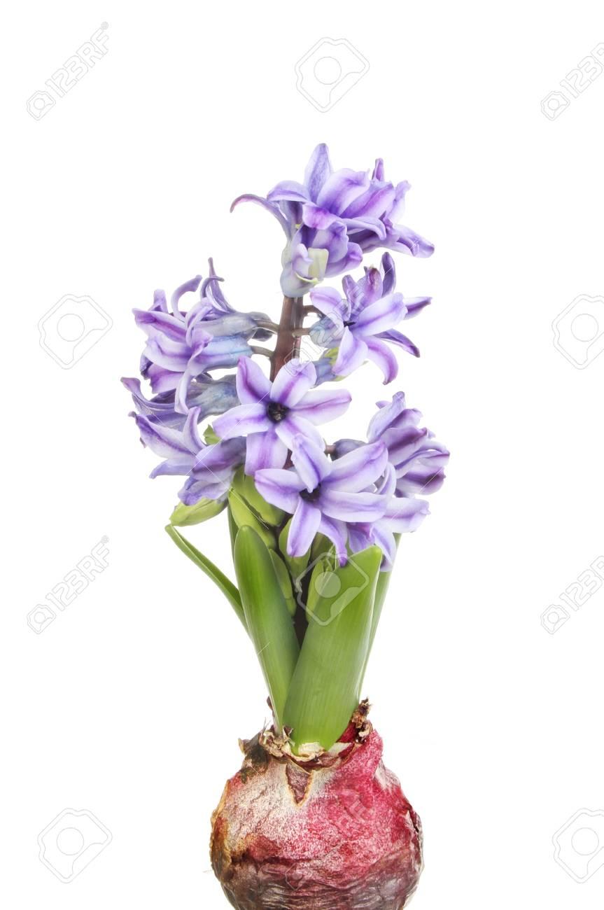 Bulbes Vert Pousses De Feuilles Et De Fleurs Violettes Jacinthe