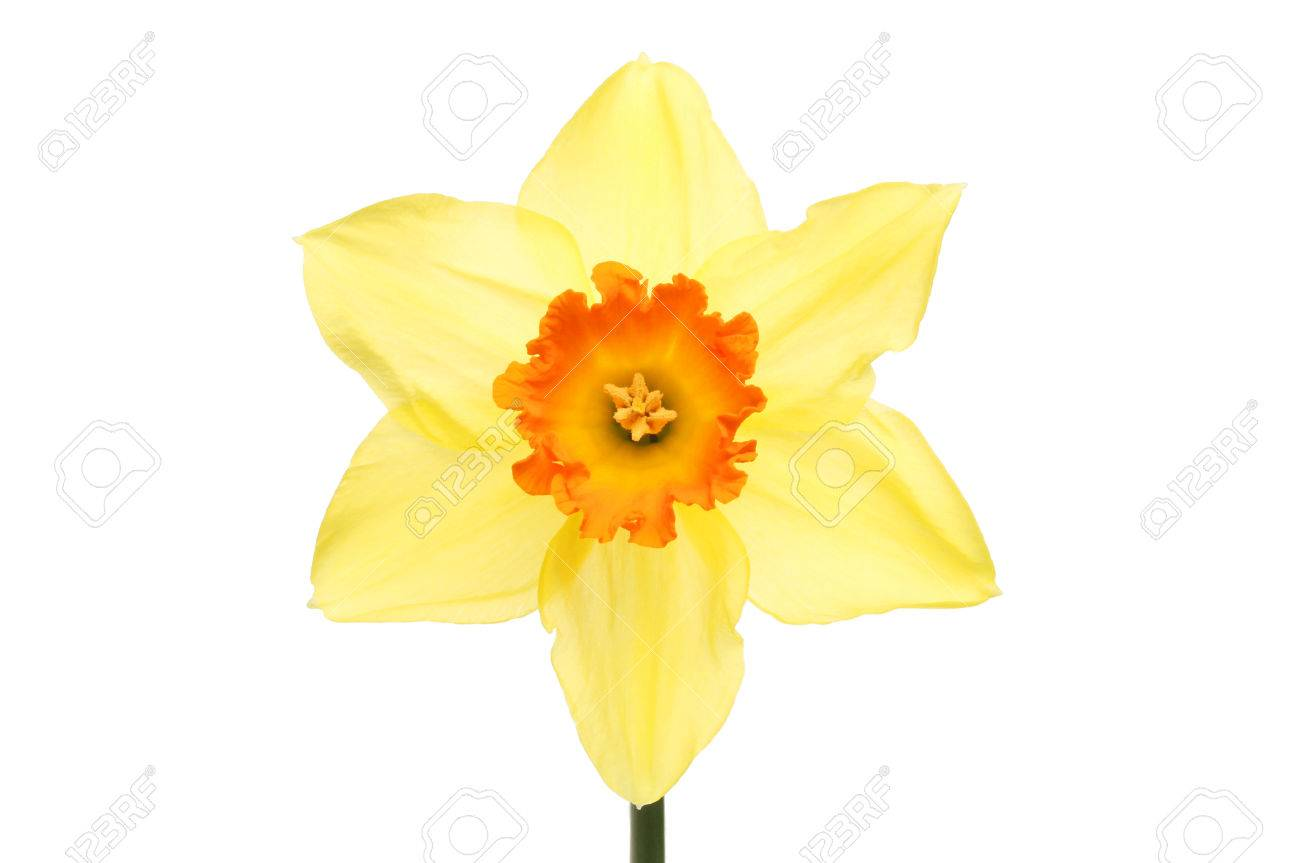 Bright Yellow Daffodil Flower With An Orange Center Isolated Stock