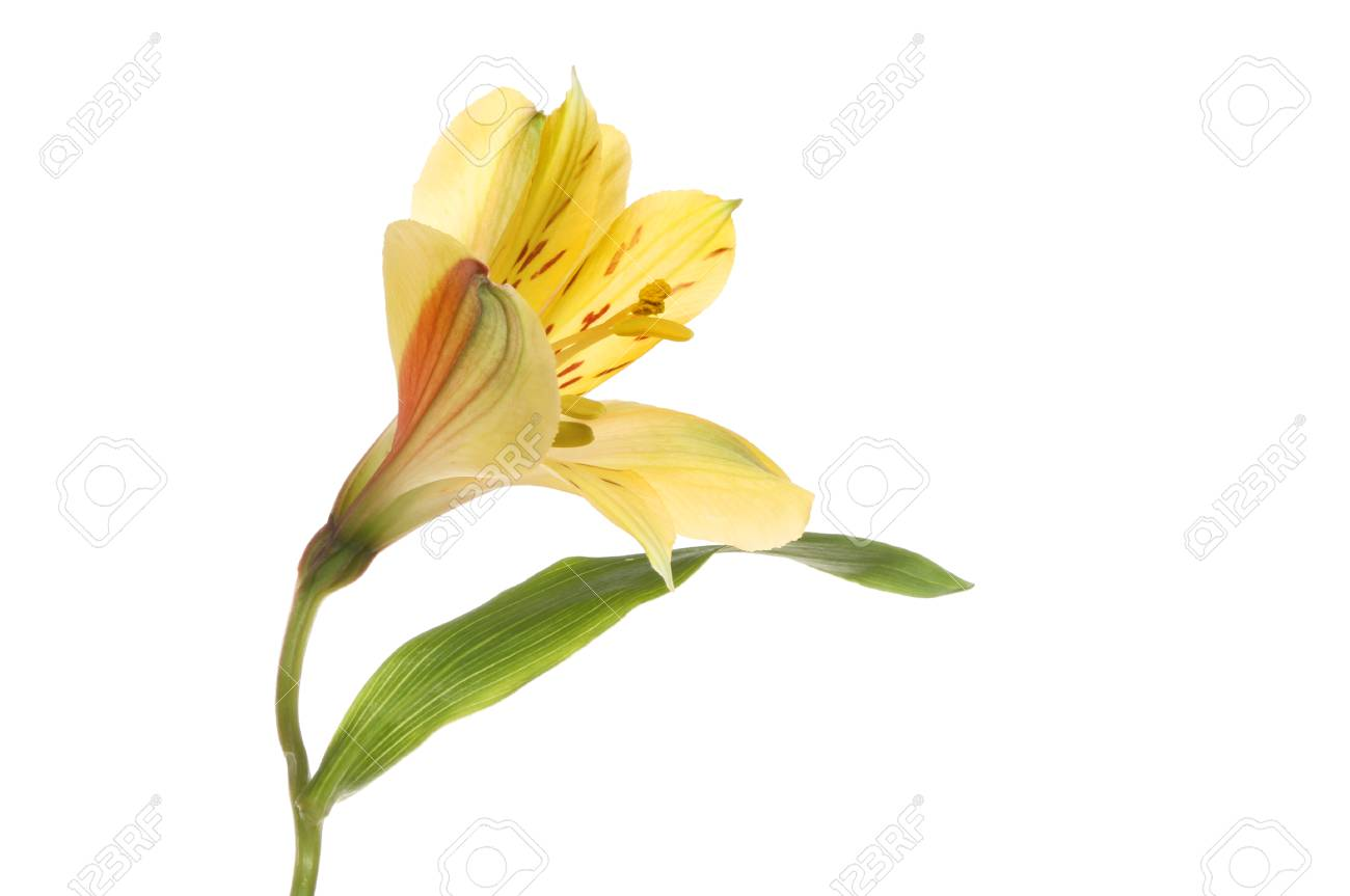 Side view of a yellow alstroemeria flower isolated against white side view of a yellow alstroemeria flower isolated against white stock photo 74240989 mightylinksfo
